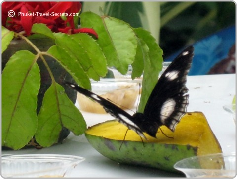 Butterfly eating nectar from the fruit in Phuket.