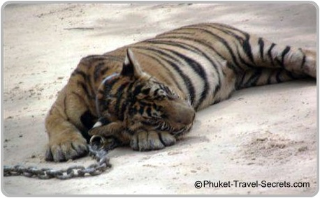 Another Tiger chained to the ground in the hot sun.