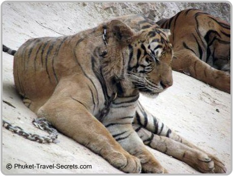 More sleepy Tigers in the canyon of the Tiger Temple.