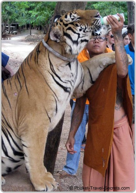 A Monk feeding one of the Tigers at the Tiger Temple in Kanchanaburi.