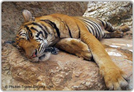 One of the many sleeping tigers lying in the hot sun at the Tiger Temple.
