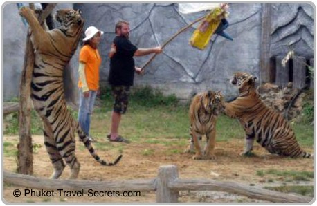 These Tigers were awake and playing games with tourists.